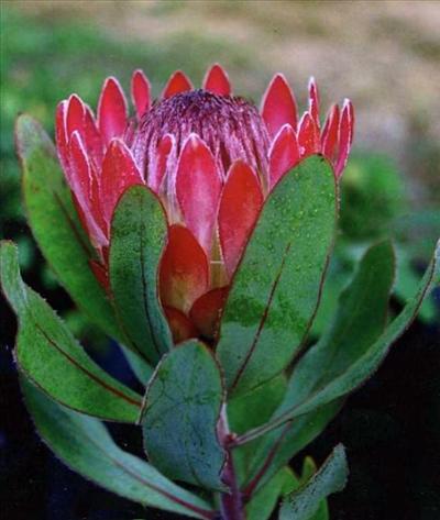 how to draw native australian flowers