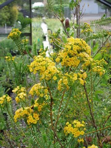 Verticordia Cooloomia Australian Native Plants Plants