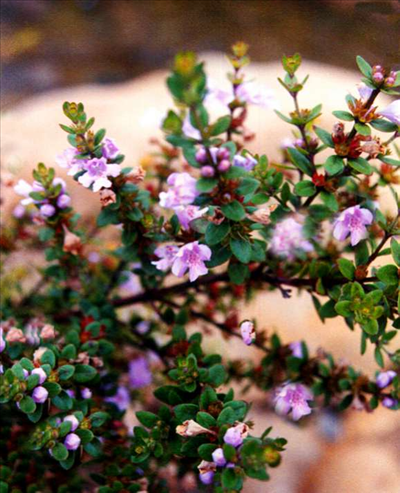 Westringia Glabra Australian Native Plants Plants