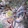 Leptospermum Bush Bronze