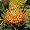 Leucospermum 'Royal Hawaiian Brandi'